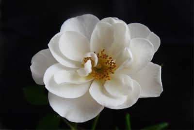 A white rose on a dark background